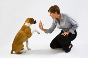Dog Training Calgary NW an instructor teaches a boxer dog