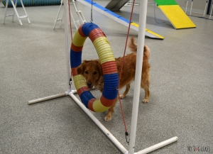 Dog being shown agility hoop in our dog training facility Calgary
